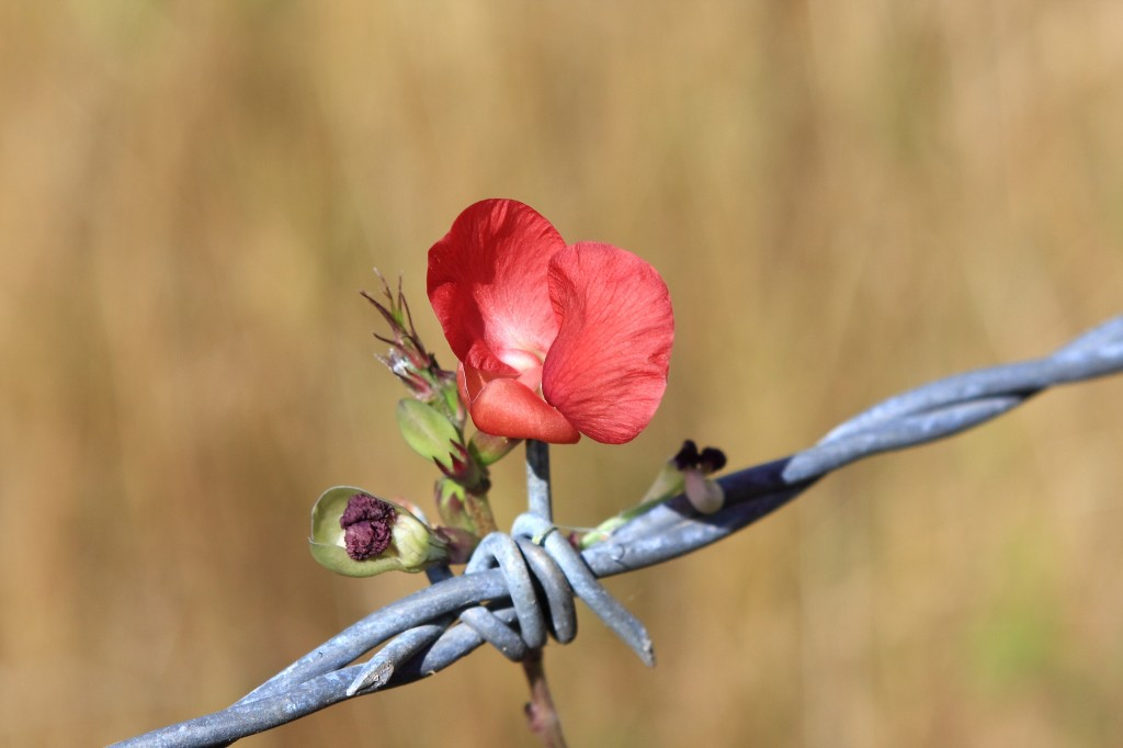 barbed wire blossom